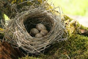 Par contre, le nid était abandonné...