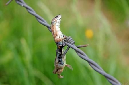 Celui-ci, je n'ai jamais compris comment il est arrivé sur ce fil, si ce n'est une malveillance d'un prédateur à deux pattes....