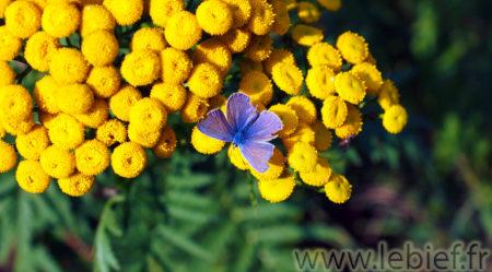 Fleurs de Tanaisie